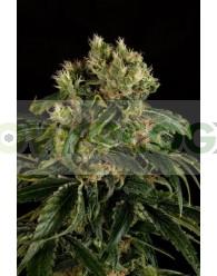 Santa Sativa Feminizada (Dinafem Seeds)