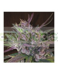 OldTimer´s Haze Regular (Ace Seeds)