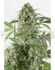 White Widow Automatic (Dinafem)