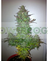 Fruit Automatic (Dinafem Seeds)