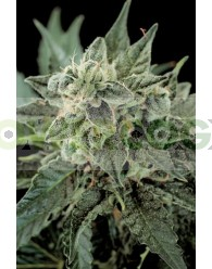 RoadRunner Automatic #2 (Dinafem Seeds)
