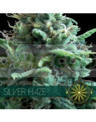 Silver Haze Feminizada (Vision Seeds)