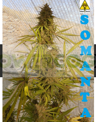 Somanta (Biohazard Seeds)
