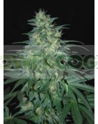 South African Kwazulu (World of Seeds) Regular