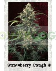 Strawberry Cough Feminizada (Dutch Passion Seeds)