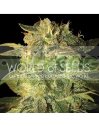 Sugar Mango Ryder Auto (World of Seeds)