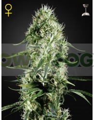 Super Silver Haze (Green House)
