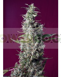 Sweet Cherry Pie Feminizada (Sweet Seeds)