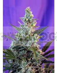 Sweet Skunk Autofloreciente (Sweet Seeds)