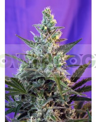 Sweet Skunk (F1 Fast Version) Sweet Seeds