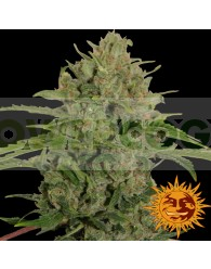 TRIPLE CHEESE FEMINIZADA (Barney´s Farm Seeds)