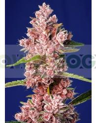 Tropicanna Poison F1 Fast Version (Sweet Seeds) Feminizada