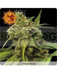 Utopia Haze (Barney´s Farm)