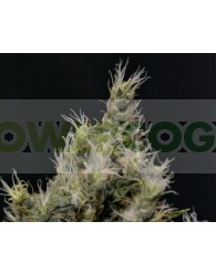 Vanilla Haze (CBD Seeds)