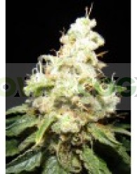 Wacky Widow (Makka Seeds)