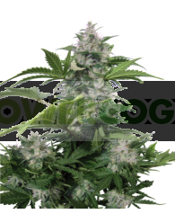 White Dwarf Regular (Buddha Seeds)