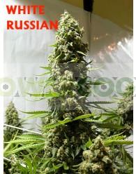 White Russian Regular (Serious Seeds)
