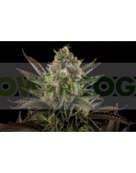 White Widow Feminizada (Dinafem Seeds)