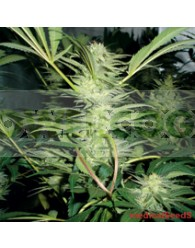 White Widow (Medical Seeds) Feminizada
