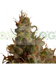 White Widow (Royal Queen Seeds) Feminizada
