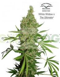 White Widow x The Ultimate Regular (Dutch Passion)