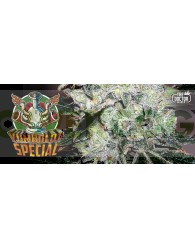 Yumboldt Special (Feminizada) The Doctor Seeds