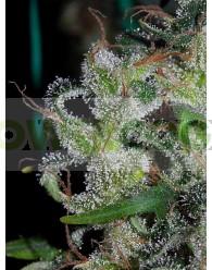 Zamaldelica Feminizada (ACE Seeds)