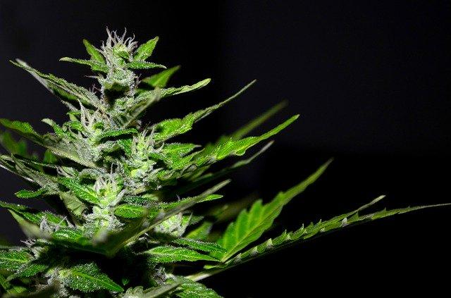 ¿Para qué se utilizan los productos de cannabis con CBC?