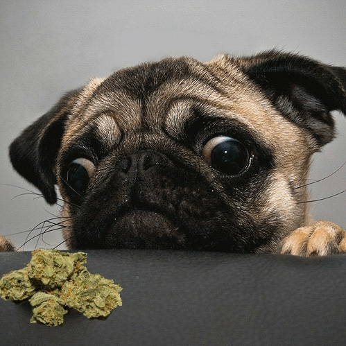 Cannabis Medicinal Animales