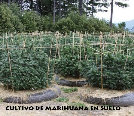 Cultivo de Marihuana en Exterior en Suelo