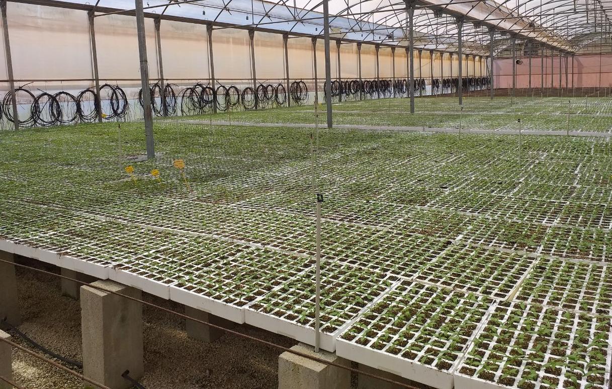 el cultivo de cáñamo industrial cannabis sativa