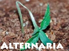 El Hongo Alternaria en la Marihuana