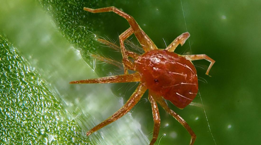 Plagas de Insectos en la Marihuana araña roja