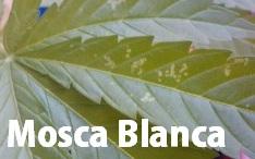 Plagas de Insectos en la Marihuana Mosca Blanca
