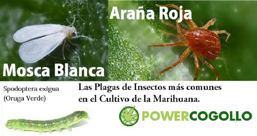 Plagas de Insectos en la Marihuana