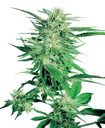 BIG BUD SENSI SEEDS SEMILLAS CANNABIS
