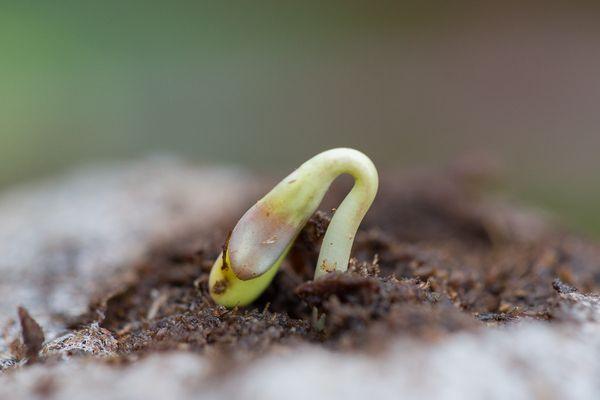 Como germinar Semillas de marihuana en tierra