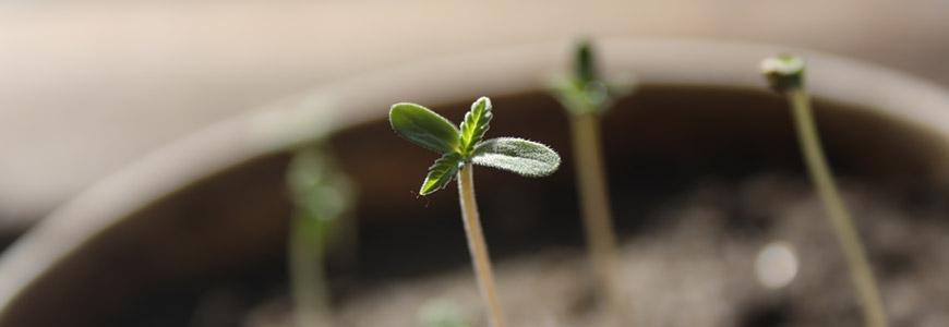Cultivo interior de marihuana