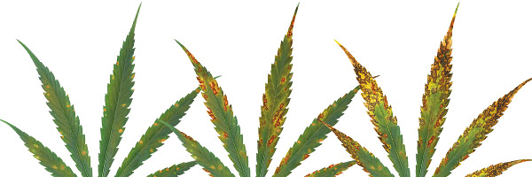 deficiencias-hojas-cannabis-calcio
