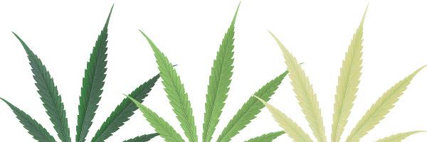deficiencias-hojas-cannabis-nitrogeno
