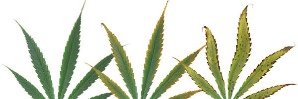 deficiencias-hojas-cannabis-potasio