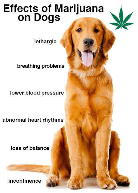 efectos de la marihuana en perros