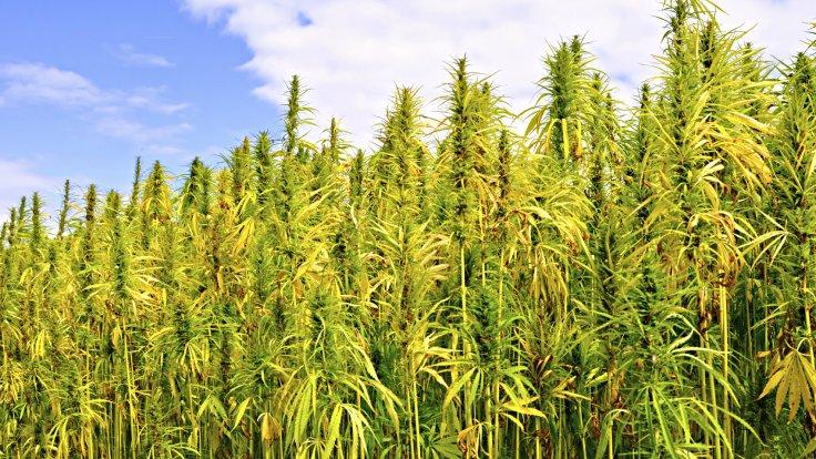 flores-de-cannabis-con-cbd