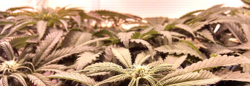 Iluminación para el cultivo interior de marihuana