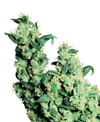 jack herer regular sensiseeds