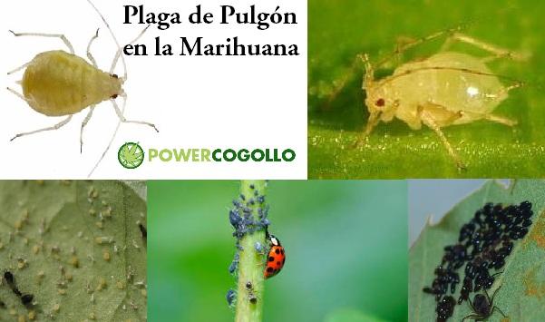 Plaga de Pulgón en la Marihuana