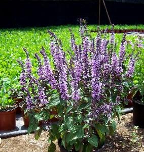 Plaga de Pulgón en la Marihuana-Plantas aromáticas