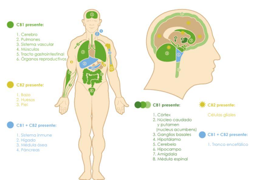 receptores que componen el sistema endocannabinoide