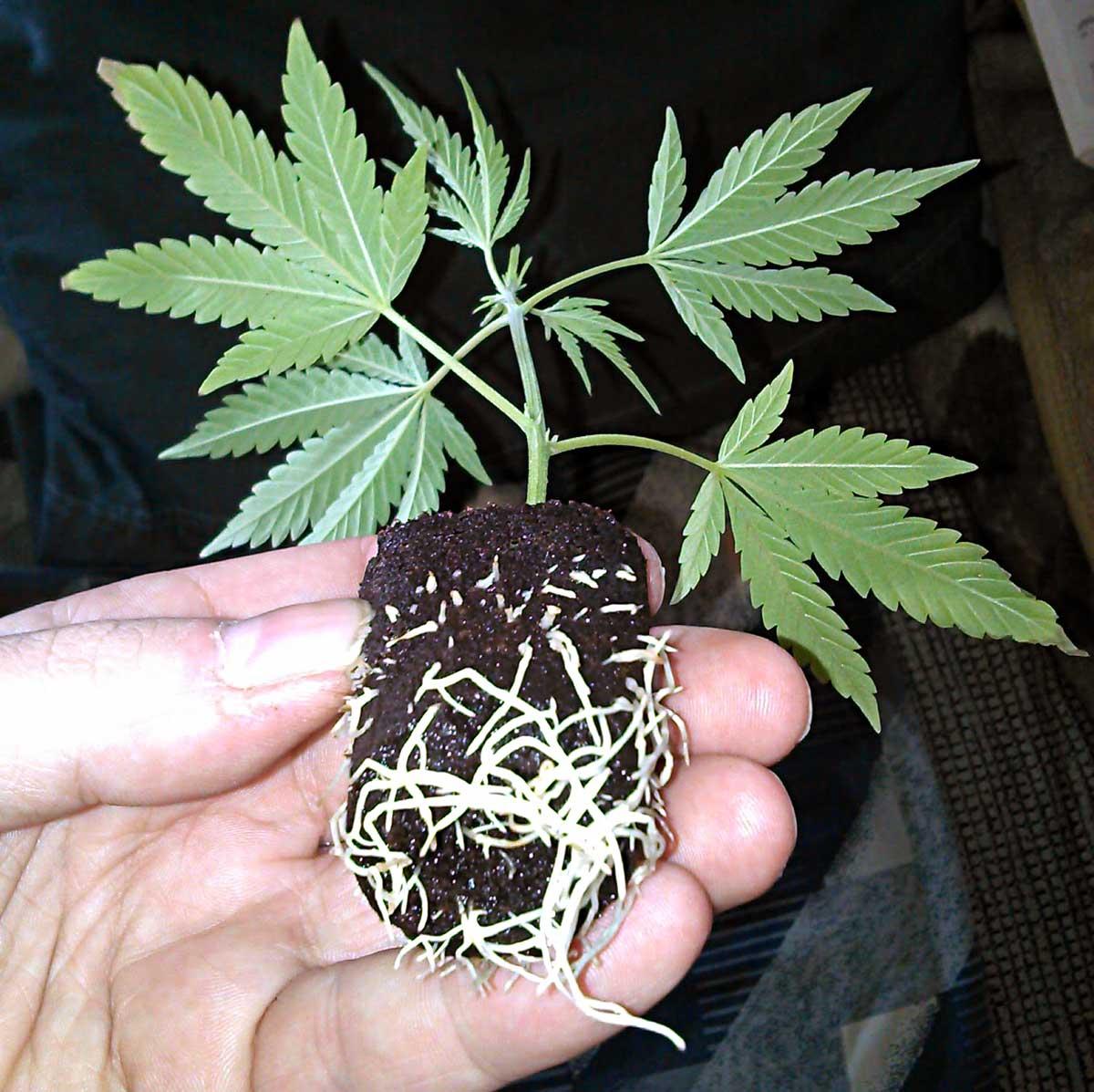 Abonos y fertilizantes para el cultivo de la Marihuana en Tierra