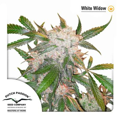 White Widow Dutch pASSION SEEDS